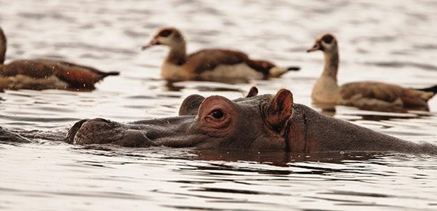 Ein Flusspferd im Mayara See