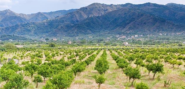 Blick auf eine Orangenbaum Plantage in Sizilien
